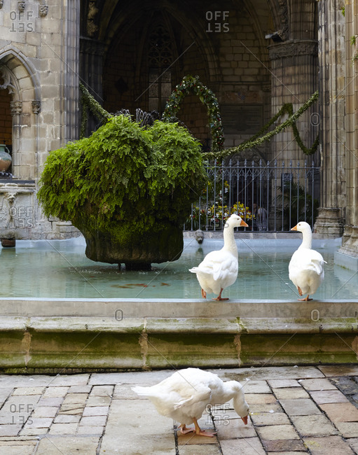 Ducks at a cathedral in Barcelona, Spain