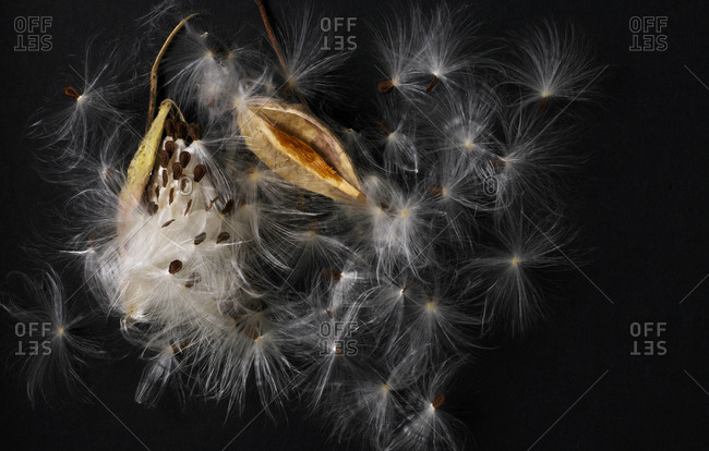 An exploded milkweed pod - Offset