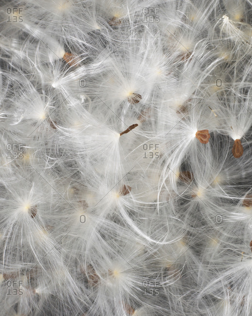 Milkweed seeds from the Offset Collection