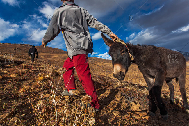 Boy pulling a donkey up to the road in Spiti valley, Himachal Pradesh, India