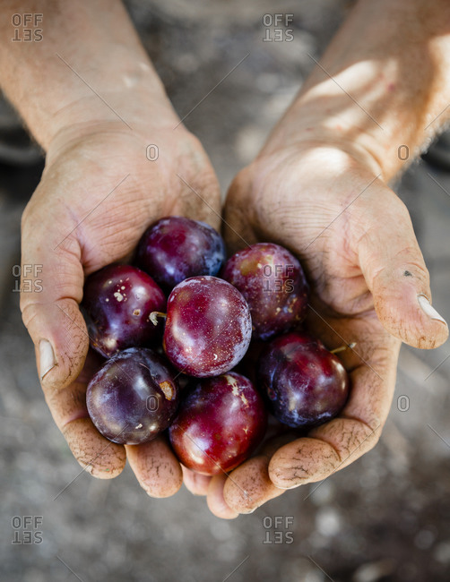 Person holding freshly picked plums in Damouchari, Pelion peninsula, Greece