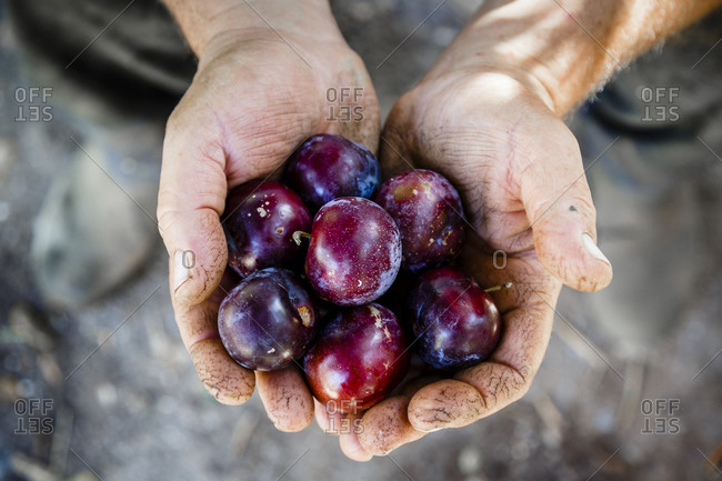 Person holding plums in Damouchari, Pelion peninsula, Greece