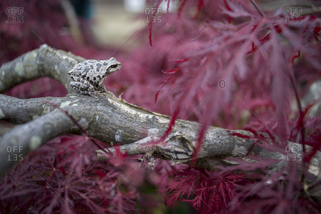 Frog on a red-leafed tree, Fukushima Prefecture, Japan
