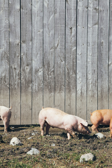 Pigs outside a wooden barn