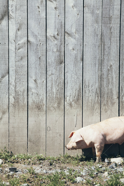 A single pig standing against a wooden barn wall