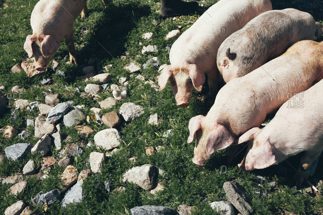Overhead view of pigs in a rocky pasture