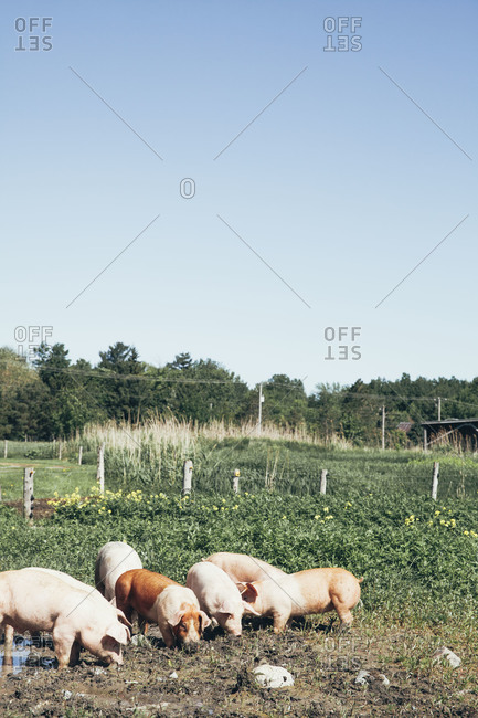 Six pigs in a picturesque farm pasture