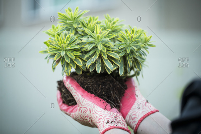 Hands holding plant with green variegated leaves