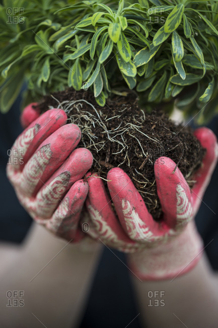Close up of gardener's hands holding plant with soil compacted around its roots