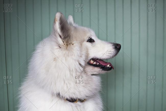A white dog against a blue wall