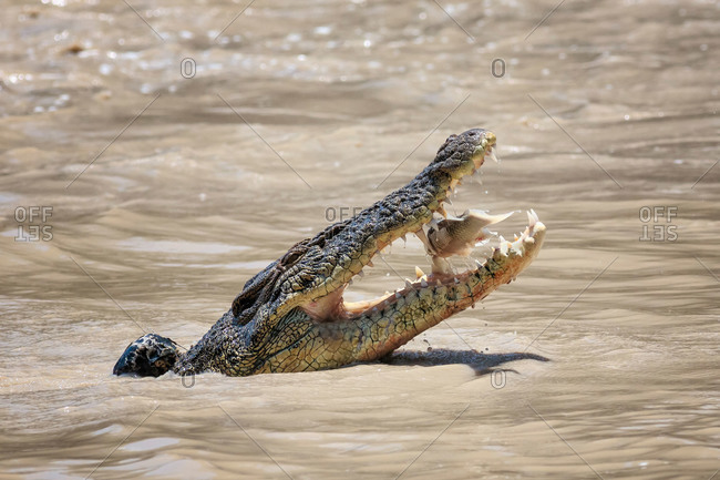 Saltwater Crocodile catching a fish at Cahill's Crossing