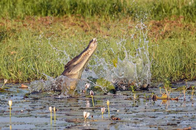 Saltwater crocodile at Yellow Water Billabong in Kakadu National Park, Australia