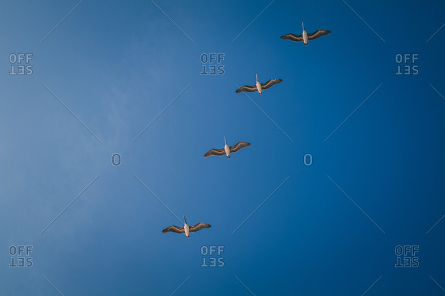 A group of pelicans fly overhead in formation