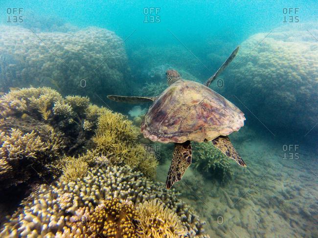A sea turtle glides through a coral reef