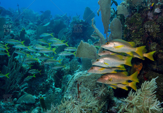Schooling fish on coral reef