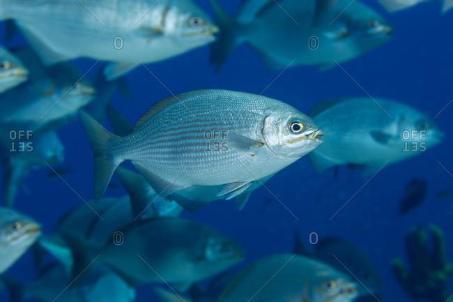 Schooling Bermuda fish