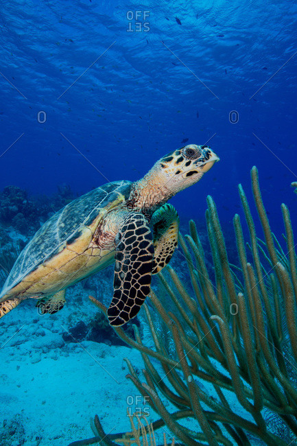 Close up view of a Hawksbill turtle