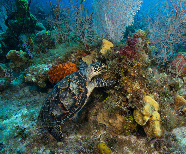 Hawksbill turtle reaching for a mouthful of algae
