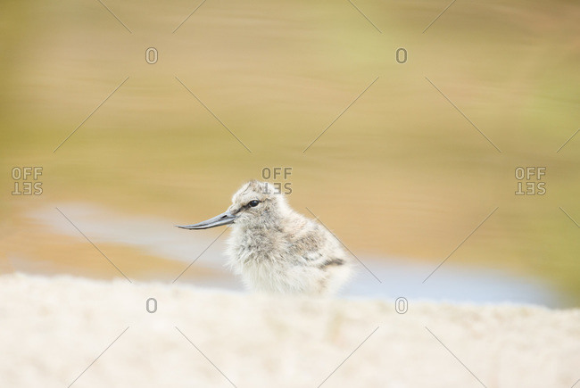 Fluffy baby avocet bird