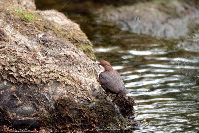 Dipper bird on rock by water