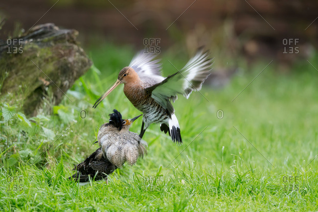 Ruff and godwit birds fighting