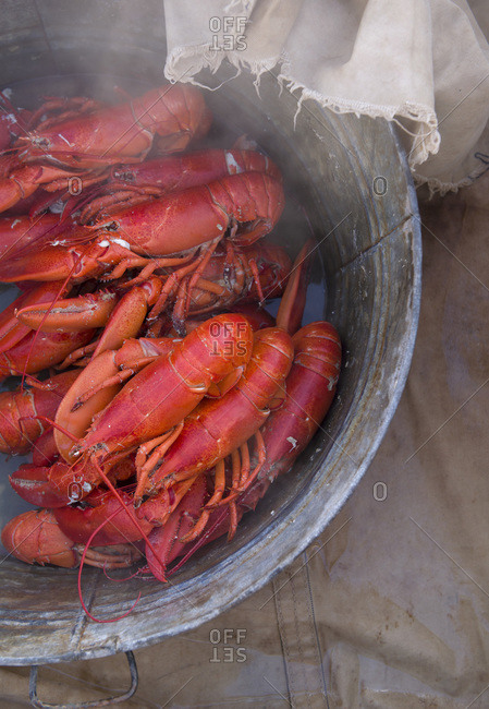 Steamed lobsters in a large metal bin as part of a lobster bake