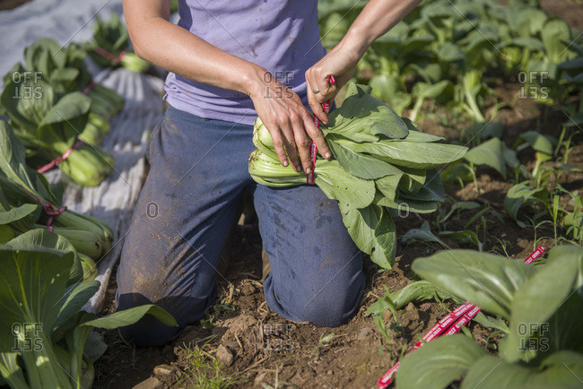A farmer bundles freshly harvested pac choi in a field for a farmers' market