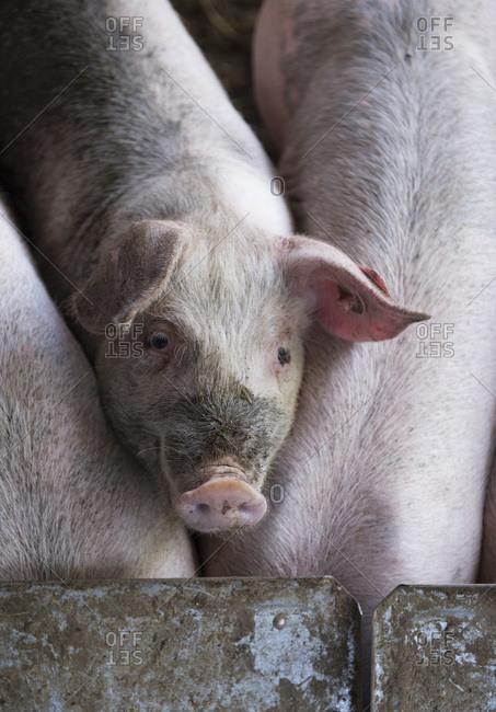 Pigs at a feeding trough