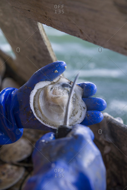 A man shucks freshly caught scallops onboard a fishing boat