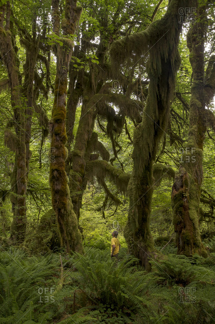 Male hiker among large trees in the Hall of Mosses in Olympic National Park in Washington