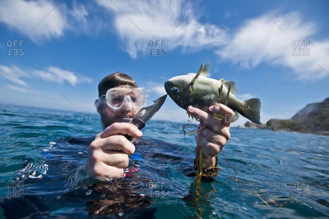 A spear fisherman kills his catch off the coast of Catalina Island, CA