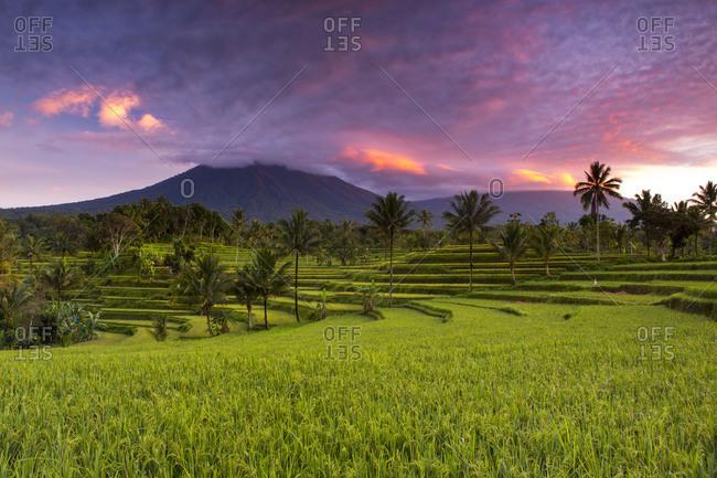 Rice fields and Kawah Ijen volcano, Banyuwangi, Java, Indonesia