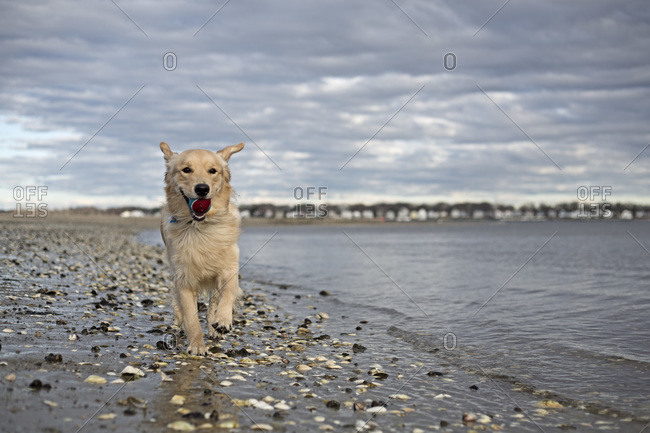 A golden retriever running along the beach with a ball in his mouth