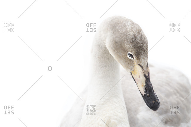 Whooper Swan portrait of a yearling in central Reykjavik, Iceland