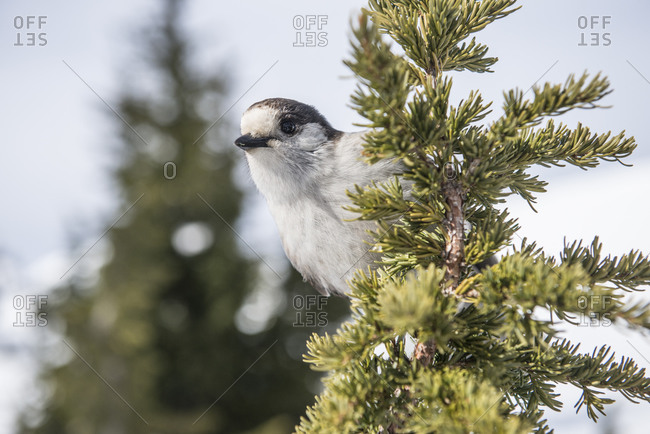 A grey Jay on a sub-alpine fir on Mount Baker WA