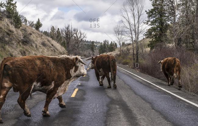 Cows run loose on a road in Eastern Oregon