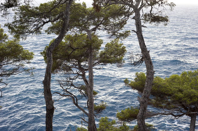 Trees growing on the coast of Italy