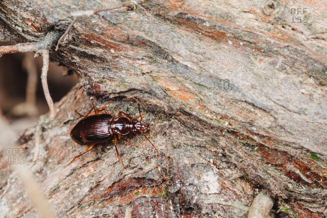 Ground beetle on wood