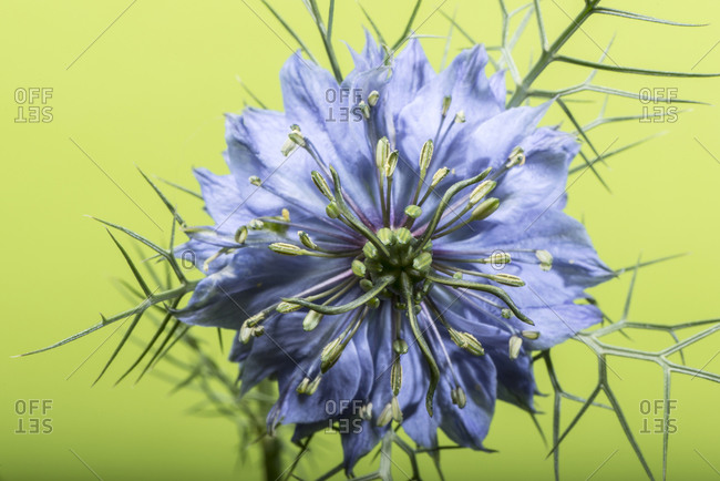 Blue flower in front of light green background