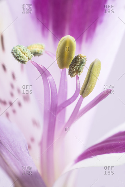 Stamen and pistils of lily