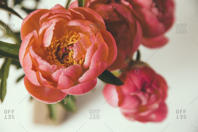 Close up of peony bloom