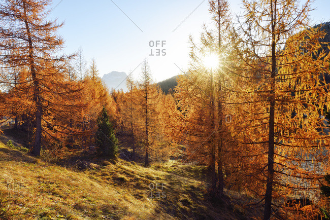 Larch forest in autumn