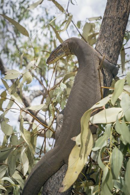 Lizard climbing tree in Queensland, Australia