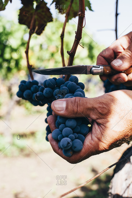 A man cuts grapes from the vine in Sicily