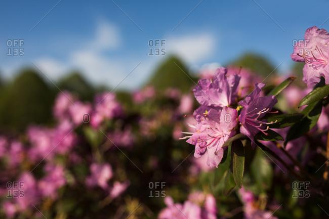 Close up of pink azaleas