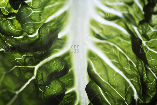 Close up of a Swiss chard leaf