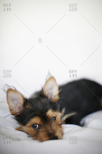 Puppy lying on soft bed