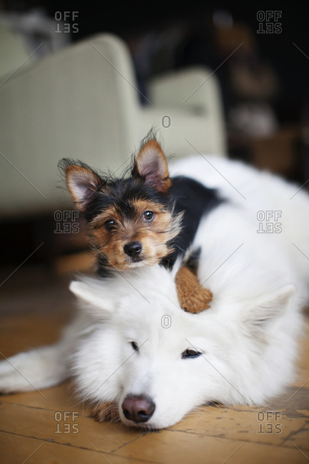 Puppy lying on dog in living room