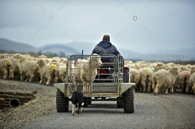 Man transporting a sheep
