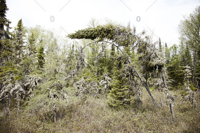 Trees bent from blight in forest
